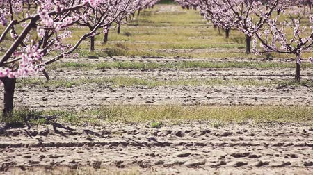 brzoskwinie : Spring. Beautiful pink blossoming peach trees.
