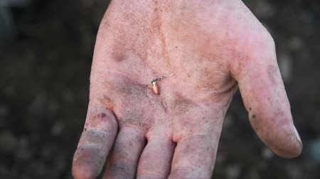 germinated : Germinated seed on male hand. Hands of a working man Stock Footage