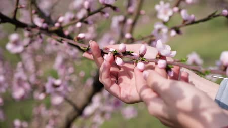 fruity garden : cherry blossom petals in a girls palm