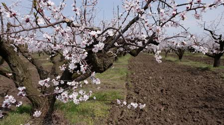 damascos : A flowering apricot garden. Camera movement Stock Footage