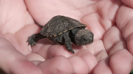 hatch : Little tortoise is waking in the humans hands Stock Footage