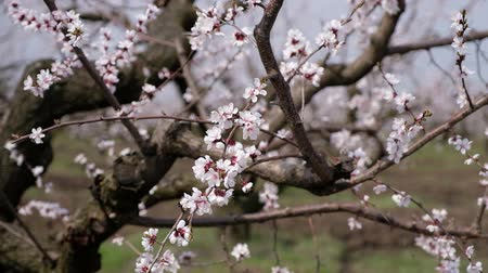 абрикосы : Buds of apricot, shooting in motion. Blooming garden.