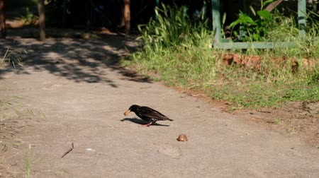 starling : A smart starling grabs a piece of bread, shakes to reduce it, and then joyfully flies away