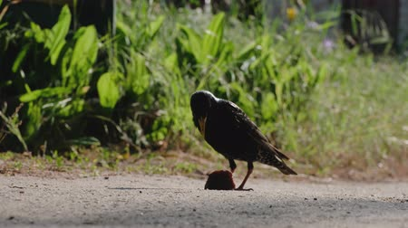 szpak : A little starling stubbornly to pick up the piece of bread. As soon as it suceeds, it flies away