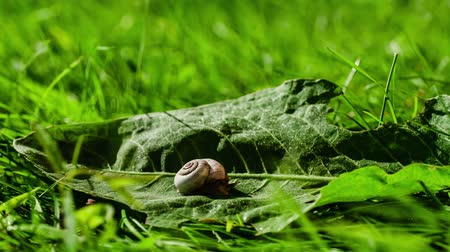crude : Snail on a green leaf. Time Lapse Video. Stock Footage