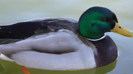 kaczka : Duck in water of lake