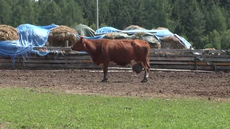 брезент : Brown cow in the meadow