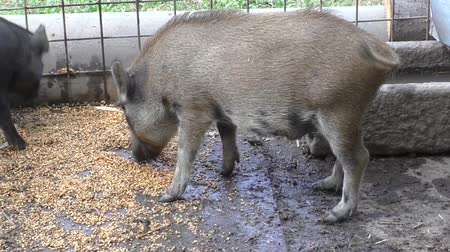svině : Piglets at a farm