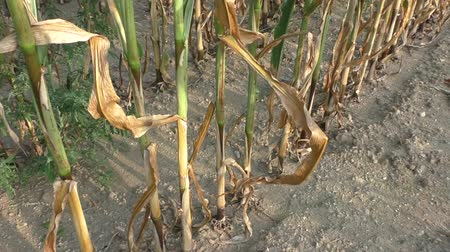 sucho : Dry drought stricken farm corn field