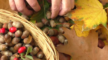 žalud : Autumn background - chestnuts, acorns and autumn leaves Dostupné videozáznamy