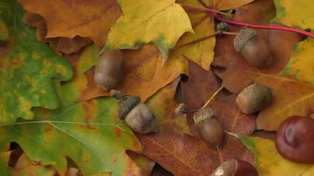 meşe palamudu : Autumn background - chestnuts, acorns and autumn leaves Stok Video