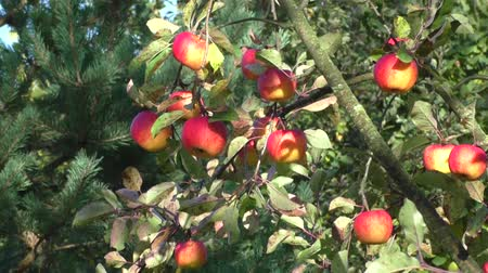 fruitful : Ripe apples on the tree