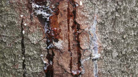 лечит : Resin on pine trunk, horizontal shot. Stripped bark on the trunk of a pine. The tree heals the wound, releasing resin. Стоковые видеозаписи