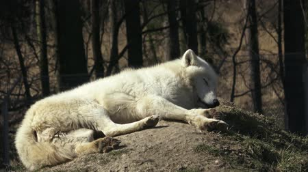 arctic tundra : The Arctic wolf (Canis lupus arctos), also known as the Melville Island wolf. Wolf lying at rest. Stock Footage