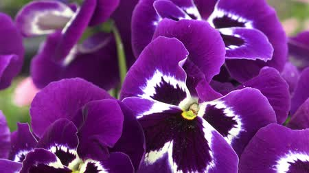 maceška : Close-up of some purple pansy (Viola x wittrockiana) Flowers in a garden are moving in the wind