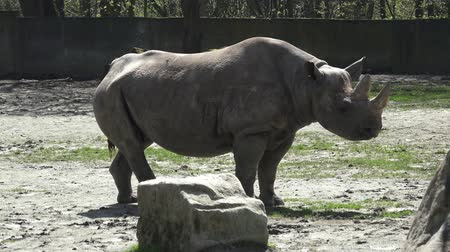 nosorožec : Rhinoceros (Diceros bicornis) with large horns