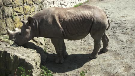 rinoceronte : Rhinoceros (Diceros bicornis) with large horns