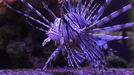 venenoso : A Zebra-winged, or a Zebra-fish, or a striped winged (Pterois volitans) is a fish of the Scorpion family. Poisonous