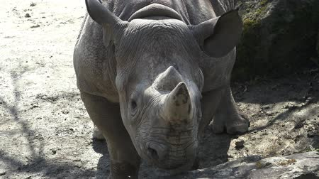 horned : Rhinoceros (Diceros bicornis) with large horns