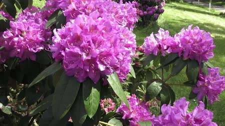 rhododendron : Rhododendron pink flower blooming on the park.