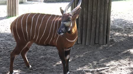 endangered species : Mountain bongo antelope Tragelaphus eurycerus. Extremely rare animal.