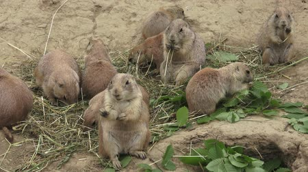 wiewiórka : A prairie dogs (Cynomys ludovicianus) is eating dry grass