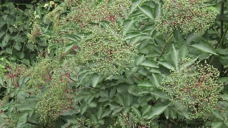 mürver : Bunch of green elderberry berries. Unripe (Sambucus nigra)