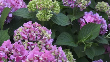 hortensia : Beautiful flowers. Beauty in nature. Hydrangea macrophylla - Beautiful bush of hydrangea flowers. Stock Footage