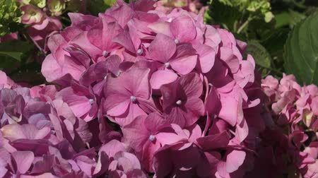 hortensia : Beautiful flowers. Beauty in nature. Hydrangea macrophylla. Pink flower hydrangea.