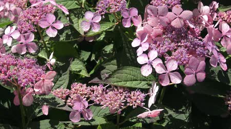 ortanca : Inflorescence of a hydrangea with rare flowers in pink tones Stok Video