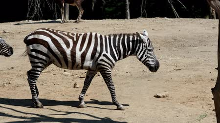 hoof : Group of Grevys zebra (Equus grevyi)