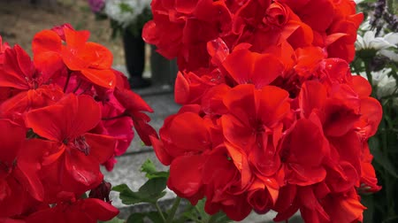 герань : Red flower. Flowers on the grave. (Pelargonium grandiflorum) Стоковые видеозаписи