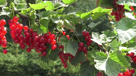 смородина : Red currant hanging on a bush in the garden Стоковые видеозаписи