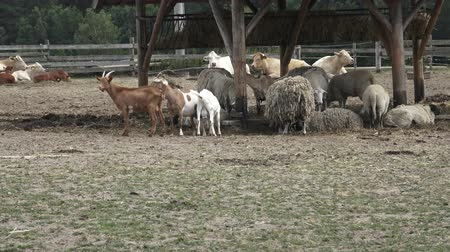 ewe : Variety of farm animals. Group of farm animals.