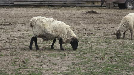 ewe : Farm animals. Sheep on farm.