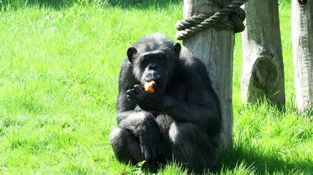 senhor : A chimpanzee (Pan Troglodytes) eating a vegetable. Portrait of the chimpanzee. Vídeos
