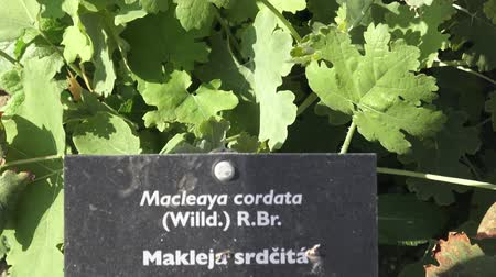 otsu : Spices and Herbs. Macleaya cordata in summer, ornamental garden plant also known as plume poppy. Hand written sign for Macleaya cordata in a garden.