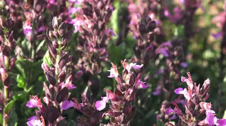 salvia : Purple flowers of salvia grow in the field. Flowering Salvia officinalis. Spices and Herbs. Stock Footage