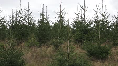 přirozeně : Young Trees in the Nursery for Growing Spruce for Christmas. Young forest grow. Plantation young trees.