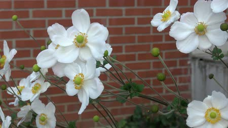 magnólie : White flowers on brick wall background