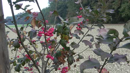 conhecido : Euonymus europaeus, known as spindle, also as European spindle and common spindle