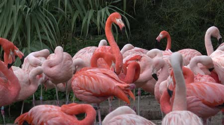 flamingi : Flamingo (Phoenicopterus chilensis). Flamingos or flamingoes.