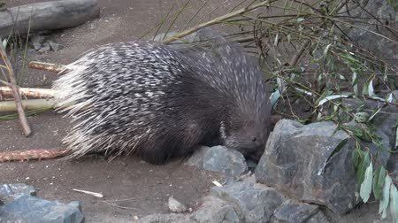 animais : The Indian crested porcupine (Hystrix indica), or Indian porcupine Stock Footage