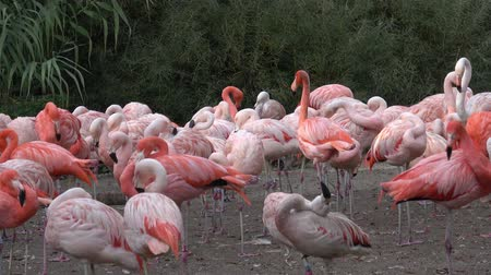 flamingi : American Flamingo (Phoenicopterus ruber). Flamingos or flamingoes. Wideo