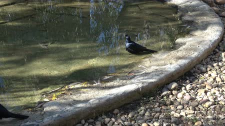 szpak : Red-winged starling, Onychognathus morio, at a small pool to drink and wash themselves Wideo
