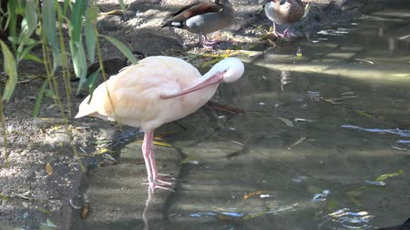 brodění : Beautiful ibis and duck in water. Waterfowl