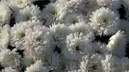chrysanthemum : Autumn Flowers on the Garden. Flowers with frozen water drops of dew in late autumn morning. Stock Footage