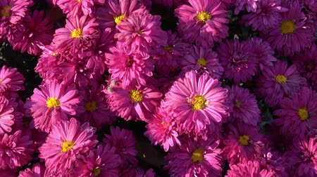 chrysanthemum : Autumn Flowers on the Garden Stock Footage