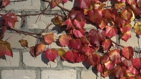 hera : Parthenocissus tricuspidata on an ancient brick wall