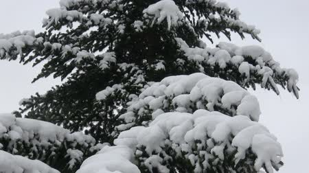świerk : Winter tree covered with snow. Tree branch covered with snow. Wideo